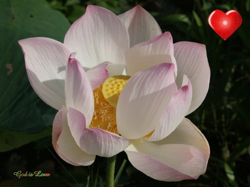 God's Love Lotus