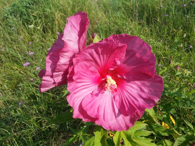 Hibiscus at Healthy Mind Body